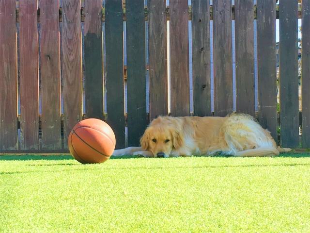 ボールで遊びたいと思っているかわいい犬の様子。情報にもバリアフリーを。障がい者とその関係者のコミュニティ、情報サイト。ナレバリ