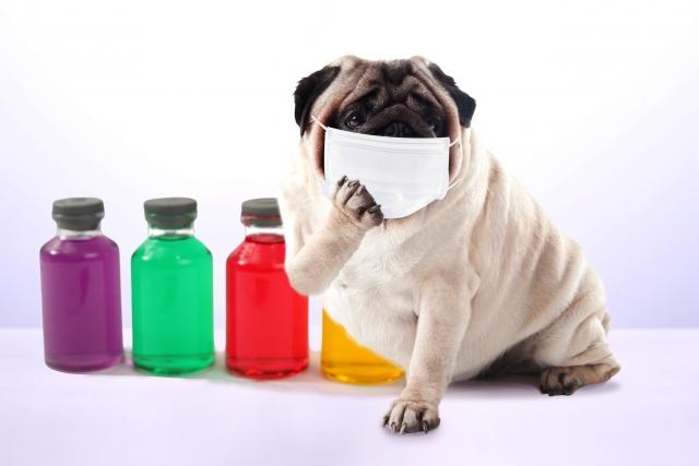 調子が悪いのか薬の前で心配そうな表情を見せるかわいいパグ犬の画像。情報にもバリアフリーを。障がい者とその関係者のコミュニティ、情報サイト。ナレバリ